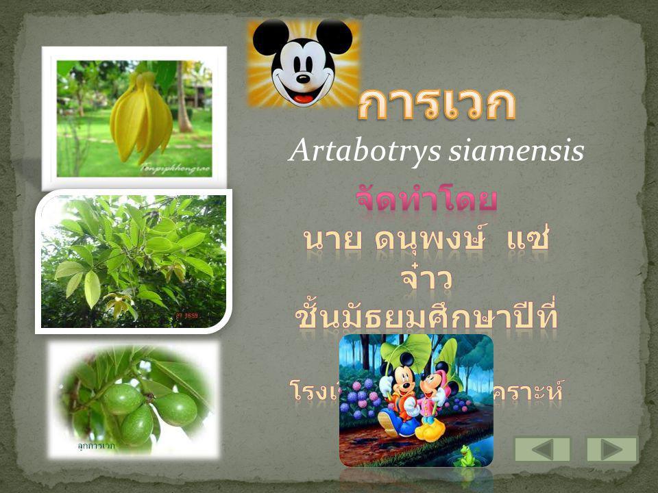 อาณาจักร : PlantaePlantae หมวด : MagnoliophytaMagnoliophyta ชั้น : MagnoliopsidaMagnoliopsida อันดับ : MagnolialesMagnoliales วงศ์ : AnnonaceaeAnnonaceae สกุล : ArtabotrysArtabotrys ชนิด : siamensis