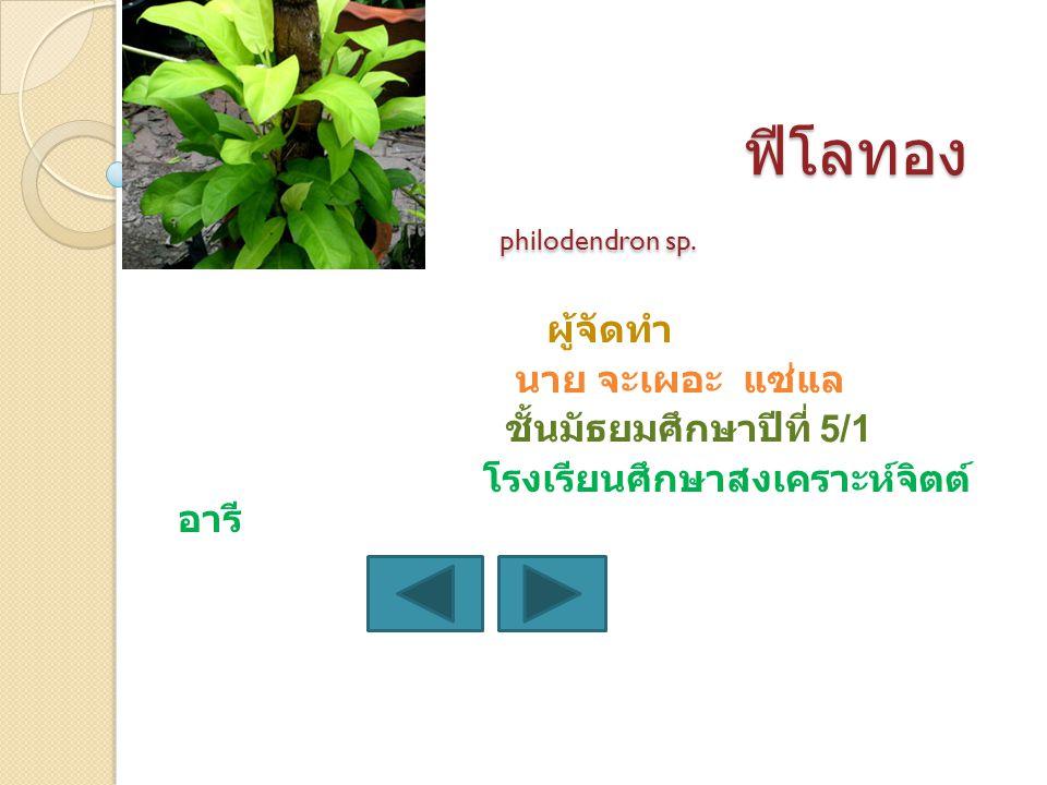 ฟีโลทอง philodendron sp.ฟีโลทอง philodendron sp.