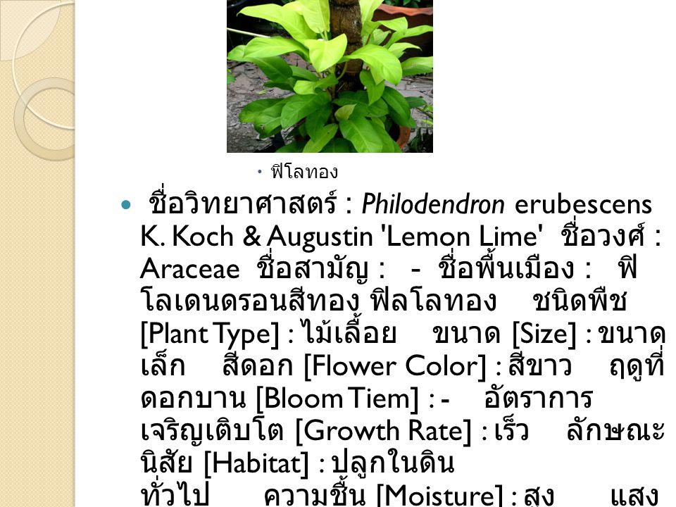  ฟิโลทอง ชื่อวิทยาศาสตร์ : Philodendron erubescens K. Koch & Augustin 'Lemon Lime' ชื่อวงศ์ : Araceae ชื่อสามัญ : - ชื่อพื้นเมือง : ฟิ โลเดนดรอนสีทอง