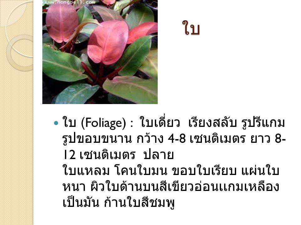ใบ ใบ (Foliage) : ใบเดี่ยว เรียงสลับ รูปรีแกม รูปขอบขนาน กว้าง 4-8 เซนติเมตร ยาว 8- 12 เซนติเมตร ปลาย ใบแหลม โคนใบมน ขอบใบเรียบ แผ่นใบ หนา ผิวใบด้านบน