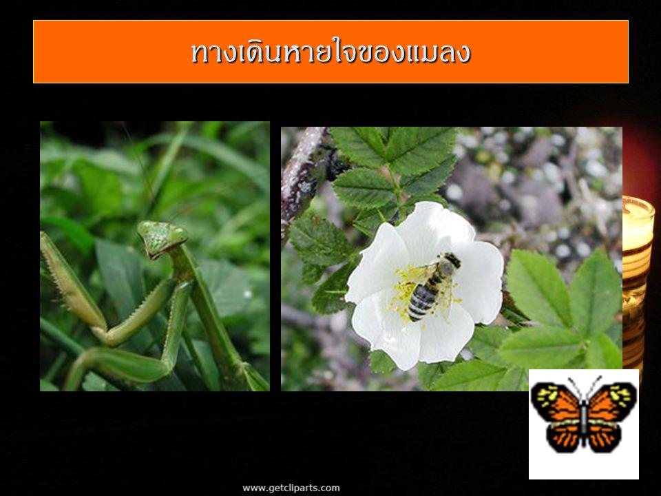 ทางเดินหายใจของแมลง
