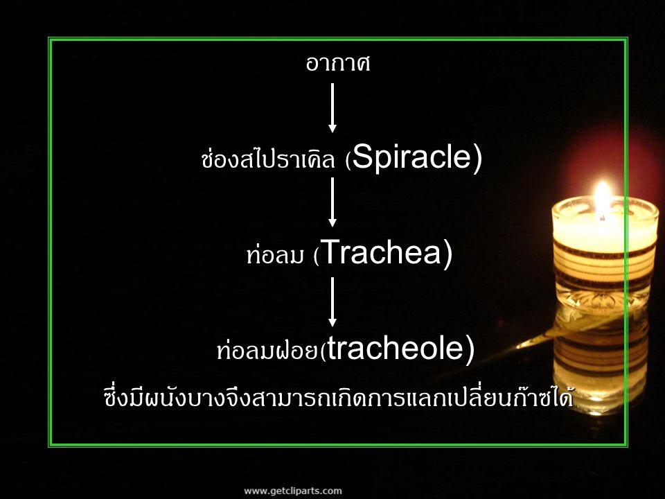 อากาศ ช่องสไปราเคิล (Spiracle) ช่องสไปราเคิล (Spiracle) ท่อลม (Trachea) ท่อลม (Trachea) ท่อลมฝอย (tracheole) ท่อลมฝอย (tracheole)ซึ่งมีผนังบางจึงสามารถเกิดการแลกเปลี่ยนก๊าซได้