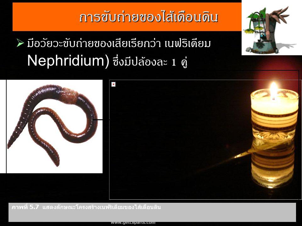 การขับถ่ายของไส้เดือนดิน  มีอวัยวะขับถ่ายของเสียเรียกว่า เนฟริเดียม ( Nephridium) ซึ่งมีปล้องละ 1 คู่ ภาพที่ 5.7 แสดงลักษณะโครงสร้างเนฟริเดียมของไส้เ