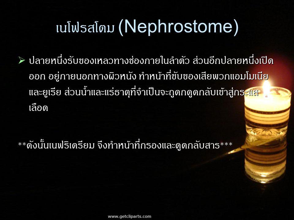 เนโฟรสโตม (Nephrostome)  ปลายหนึ่งรับของเหลวทางช่องภายในลำตัว ส่วนอีกปลายหนึ่งเปิด ออก อยู่ภายนอกทางผิวหนัง ทำหน้าที่ขับของเสียพวกแอมโมเนีย และยูเรีย ส่วนน้ำและแร่ธาตุที่จำเป็นจะถูดกดูดกลับเข้าสู่กระแส เลือด ** ดังนั้นเนฟริเดรียม จึงทำหน้าที่กรองและดูดกลับสาร ***