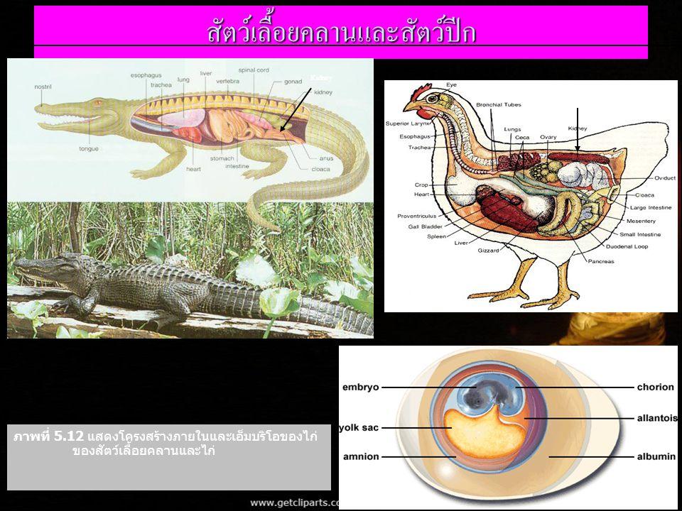 สัตว์เลื้อยคลานและสัตว์ปีก ภาพที่ 5.12 แสดงโครงสร้างภายในและเอ็มบริโอของไก่ ของสัตว์เลื้อยคลานและไก่ Kidney