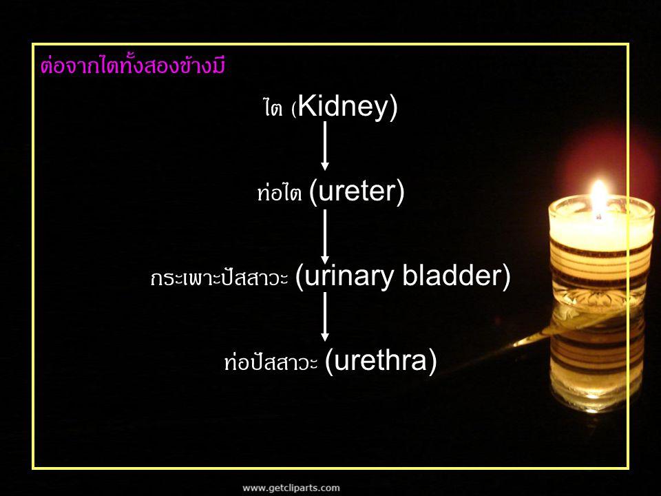 ต่อจากไตทั้งสองข้างมี ไต (Kidney) ท่อไต (ureter) กระเพาะปัสสาวะ (urinary bladder) ท่อปัสสาวะ (urethra)