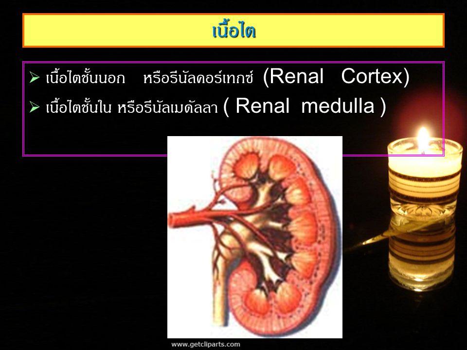 เนื้อไต  เนื้อไตชั้นนอก หรือรีนัลคอร์เทกซ์ (Renal Cortex)  เนื้อไตชั้นใน หรือรีนัลเมดัลลา ( Renal medulla )