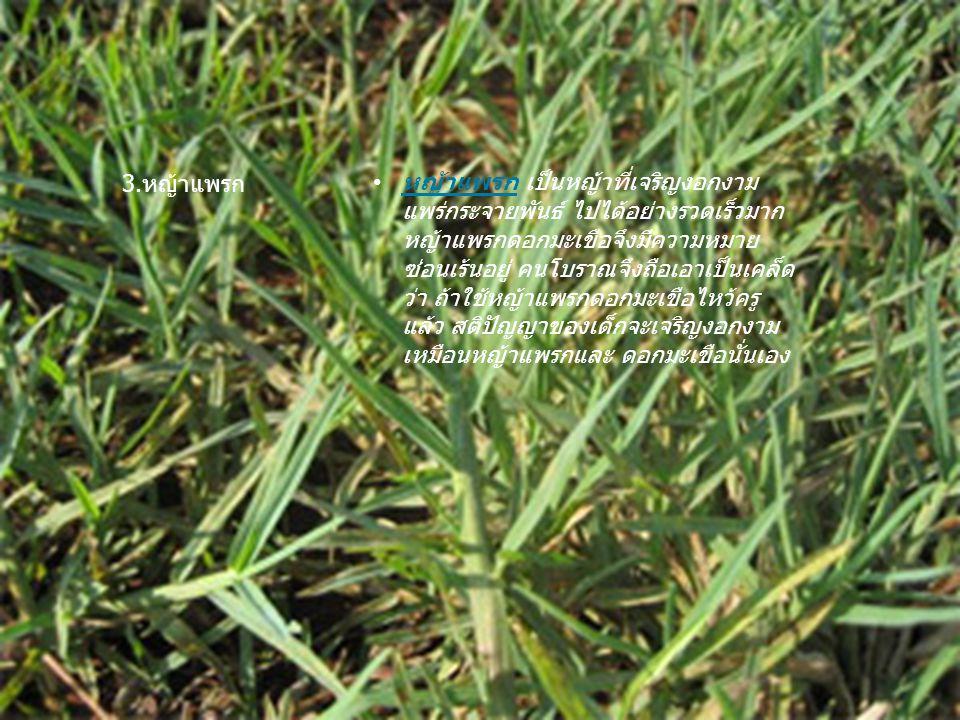 หญ้าแพรก เป็นหญ้าที่เจริญงอกงาม แพร่กระจายพันธ์ ไปได้อย่างรวดเร็วมาก หญ้าแพรกดอกมะเขือจึงมีความหมาย ซ่อนเร้นอยู่ คนโบราณจึงถือเอาเป็นเคล็ด ว่า ถ้าใช้ห