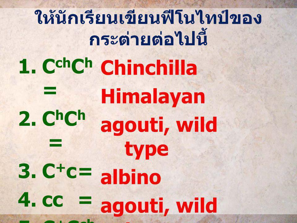 ให้นักเรียนเขียนฟีโนไทป์ของ กระต่ายต่อไปนี้ 1.C ch C h = 2.C h C h = 3.C + c= 4.cc= 5.C + C ch = Chinchilla Himalayan agouti, wild type albino agouti,