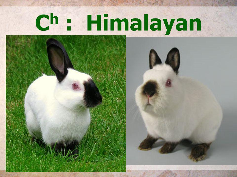 C h : Himalayan