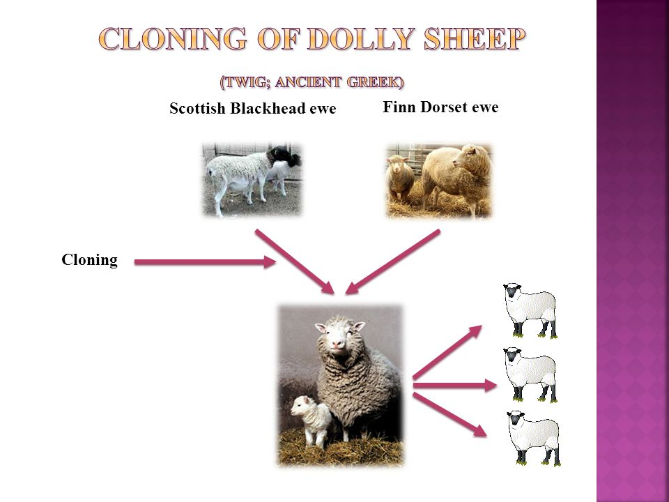 Scottish Blackhead ewe Finn Dorset ewe Cloning