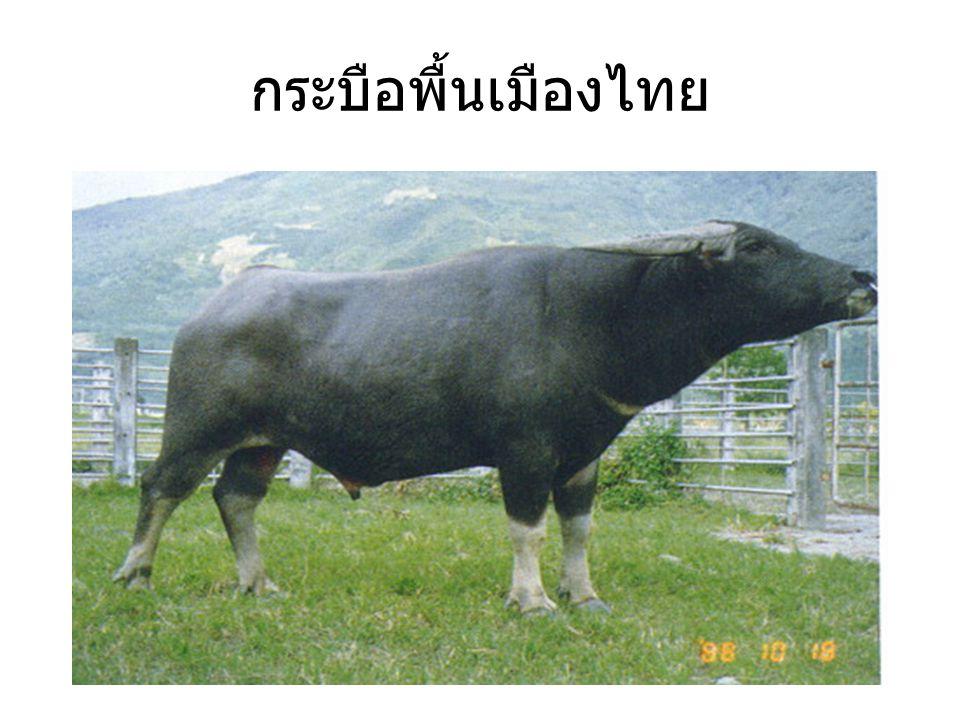 กระบือพื้นเมืองไทย