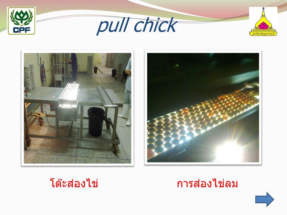 pull chick โต๊ะส่องไข่การส่องไข่ลม