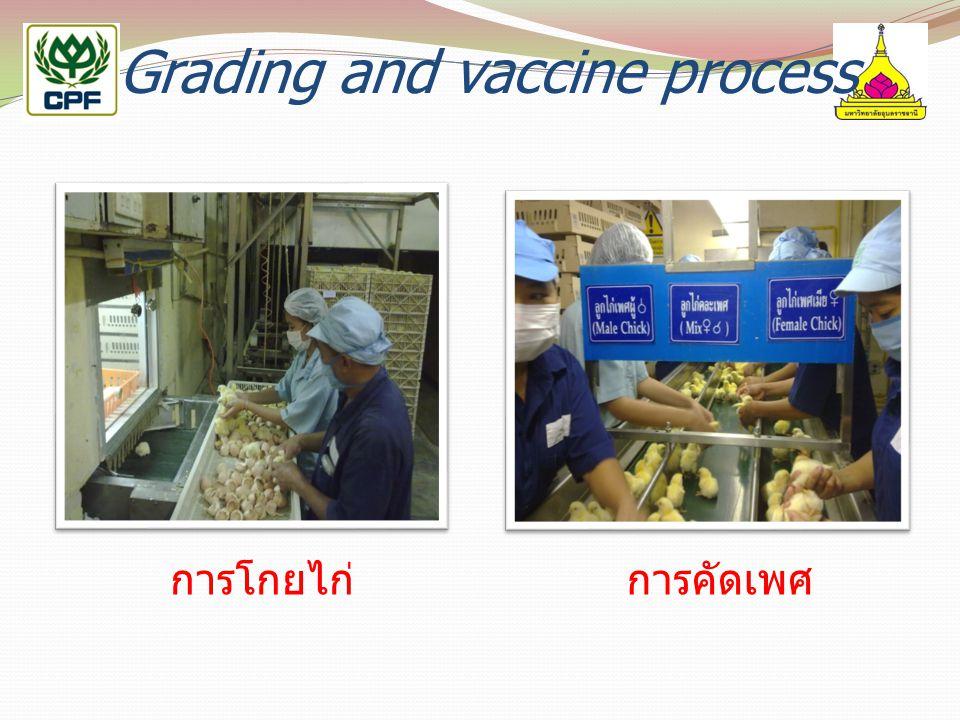 Grading and vaccine process การโกยไก่การคัดเพศ