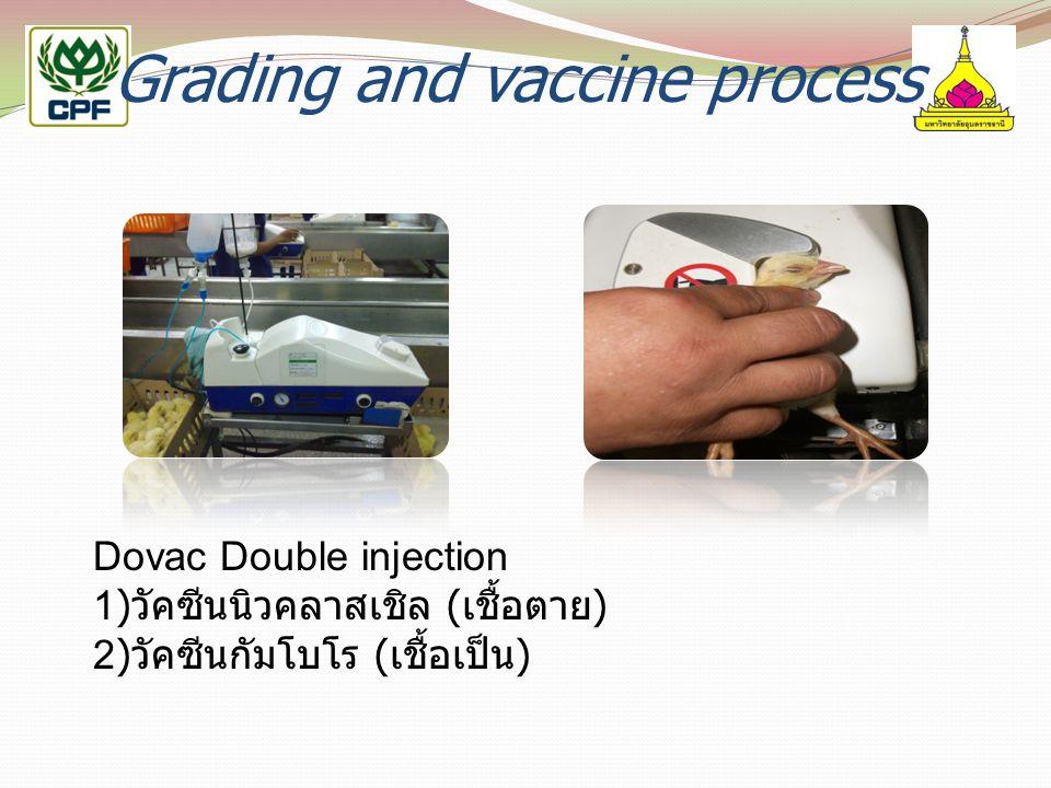 Grading and vaccine process Dovac Double injection 1) วัคซีนนิวคลาสเชิล ( เชื้อตาย ) 2) วัคซีนกัมโบโร ( เชื้อเป็น )