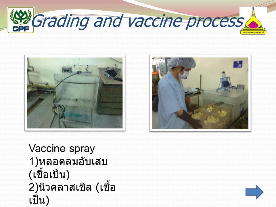 Grading and vaccine process Vaccine spray 1) หลอดลมอับเสบ ( เชื้อเป็น ) 2) นิวคลาสเชิล ( เชื้อ เป็น )