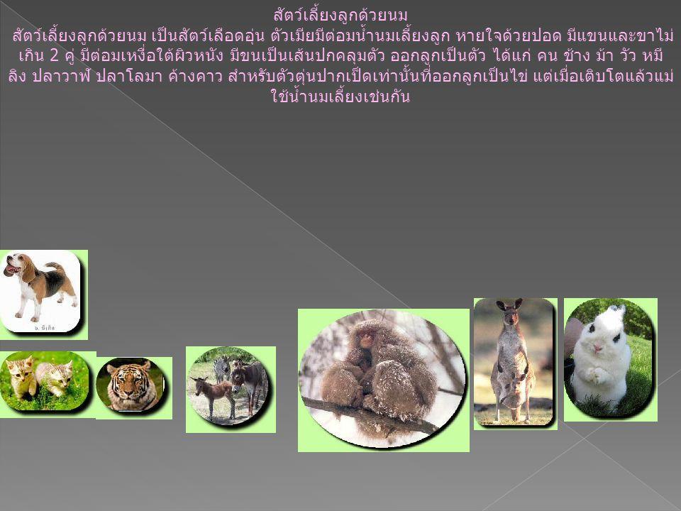 สัตว์เลี้ยงลูกด้วยนม สัตว์เลี้ยงลูกด้วยนม เป็นสัตว์เลือดอุ่น ตัวเมียมีต่อมน้ำนมเลี้ยงลูก หายใจด้วยปอด มีแขนและขาไม่ เกิน 2 คู่ มีต่อมเหงื่อใต้ผิวหนัง มีขนเป็นเส้นปกคลุมตัว ออกลูกเป็นตัว ได้แก่ คน ช้าง ม้า วัว หมี ลิง ปลาวาฬ ปลาโลมา ค้างคาว สำหรับตัวตุ่นปากเป็ดเท่านั้นที่ออกลูกเป็นไข่ แต่เมื่อเติบโตแล้วแม่ ใช้น้ำนมเลี้ยงเช่นกัน