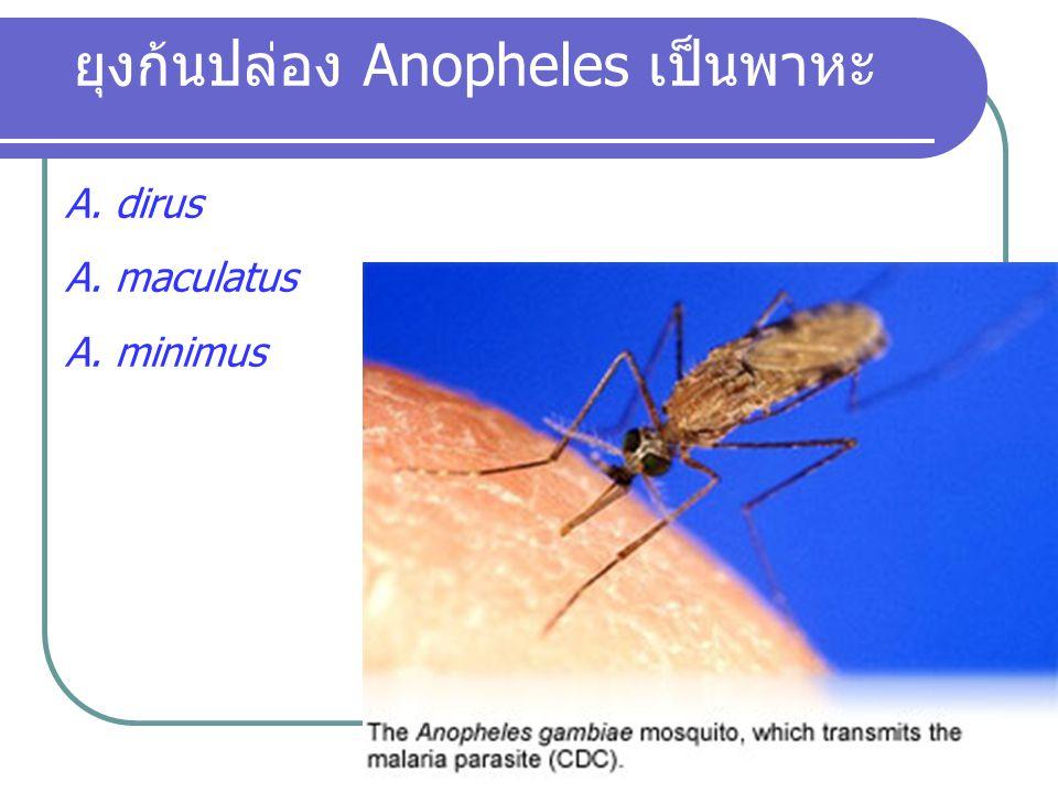 ยุงก้นปล่อง Anopheles เป็นพาหะ A. dirus A. maculatus A. minimus