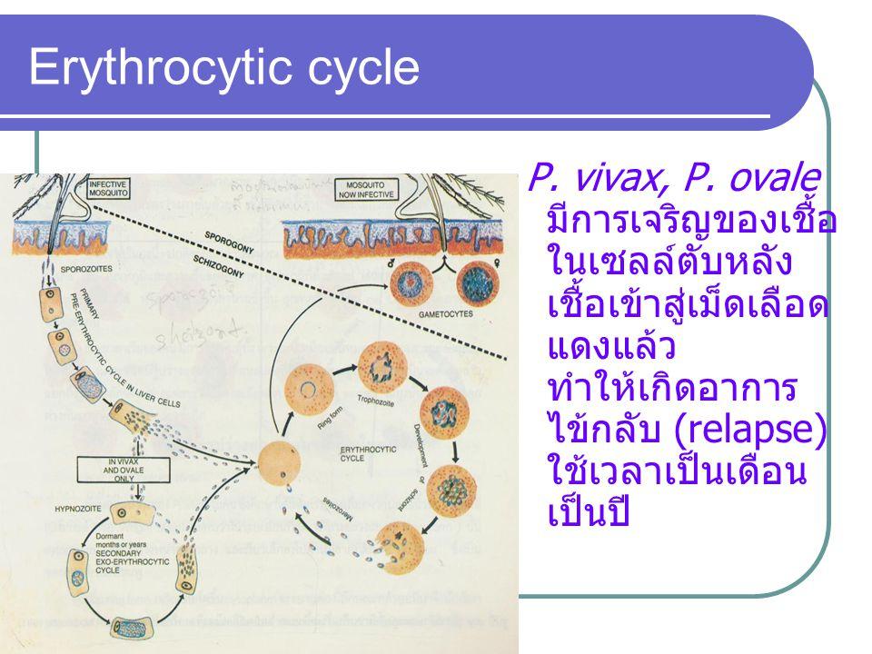 P. vivax, P. ovale มีการเจริญของเชื้อ ในเซลล์ตับหลัง เชื้อเข้าสู่เม็ดเลือด แดงแล้ว ทำให้เกิดอาการ ไข้กลับ (relapse) ใช้เวลาเป็นเดือน เป็นปี Erythrocyt