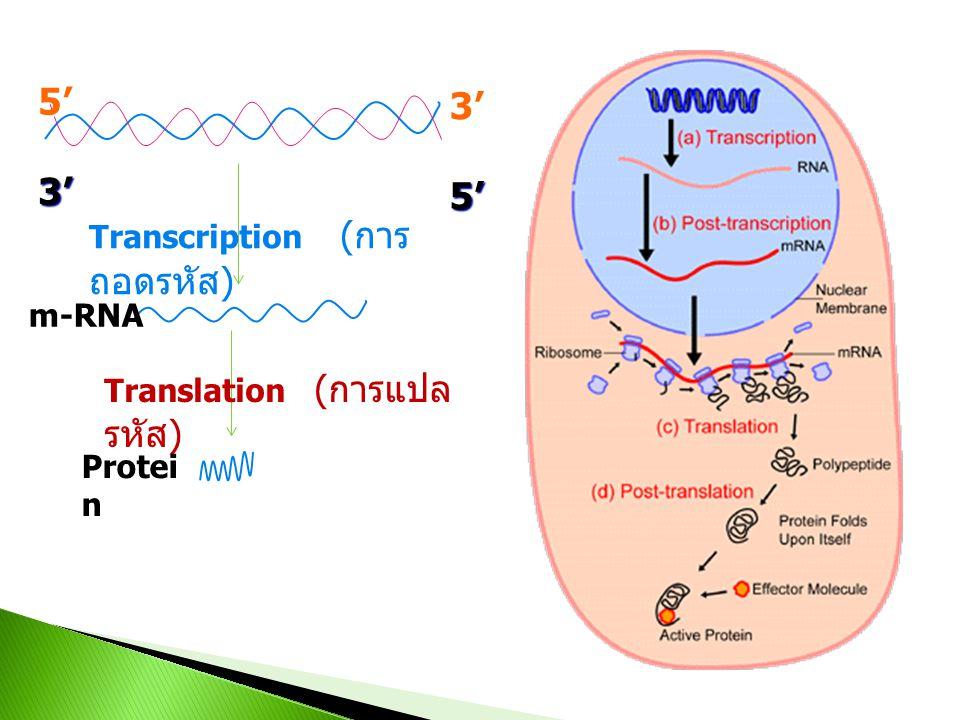 5'3'3'5' Transcription ( การ ถอดรหัส ) Translation ( การแปล รหัส ) m-RNA Protei n