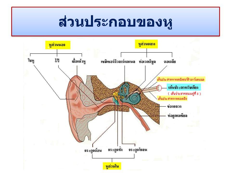 ส่วนประกอบของหู