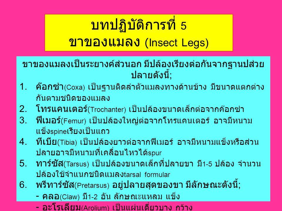 บทปฏิบัติการที่ 5 ขาของแมลง (Insect Legs) ขาของแมลงเป็นระยางค์ส่วนอก มีปล้องเรียงต่อกันจากฐานปส่วย ปลายดังนี้ ; 1. ค๊อกซ่า (Coxa) เป็นฐานติดลำตัวแมลงท