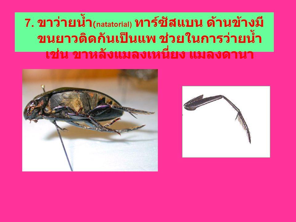 7. ขาว่ายน้ำ (natatorial) ทาร์ซัสแบน ด้านข้างมี ขนยาวติดกันเป็นแพ ช่วยในการว่ายน้ำ เช่น ขาหลังแมลงเหนี่ยง แมลงดานา