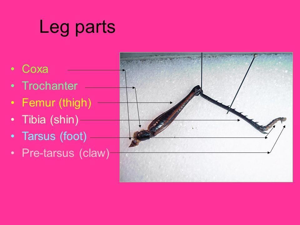 Leg parts Coxa Trochanter Femur (thigh) Tibia (shin) Tarsus (foot) Pre-tarsus (claw)