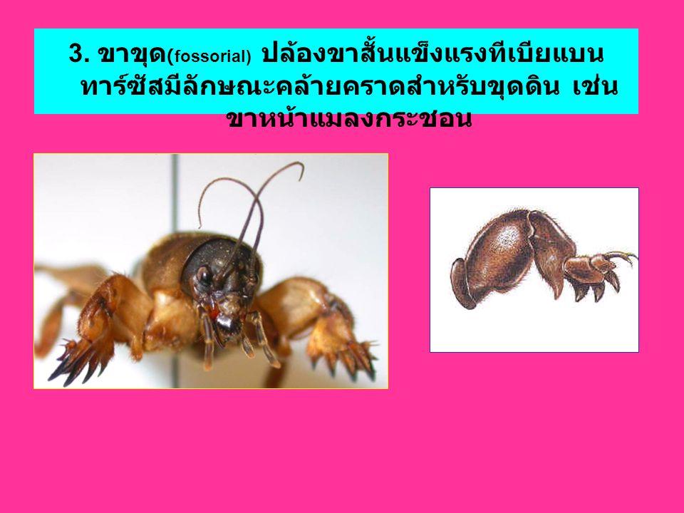 3. ขาขุด (fossorial) ปล้องขาสั้นแข็งแรงทีเบียแบน ทาร์ซัสมีลักษณะคล้ายคราดสำหรับขุดดิน เช่น ขาหน้าแมลงกระชอน