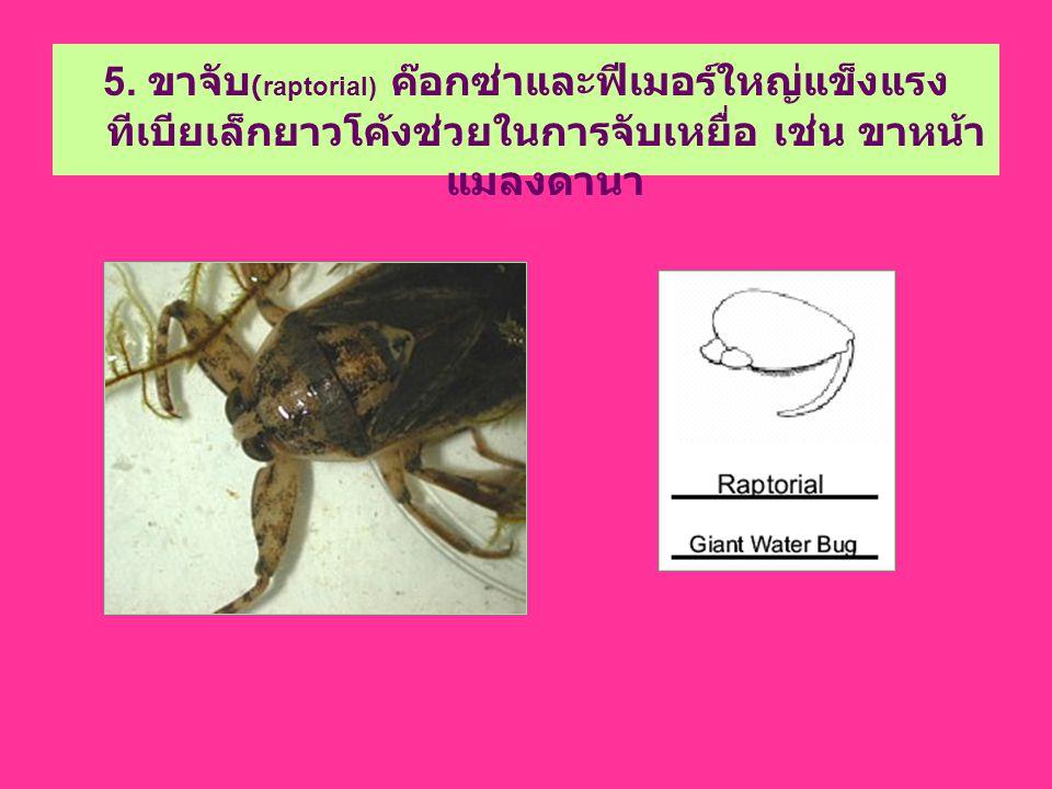 5. ขาจับ (raptorial) ค๊อกซ่าและฟีเมอร์ใหญ่แข็งแรง ทีเบียเล็กยาวโค้งช่วยในการจับเหยื่อ เช่น ขาหน้า แมลงดานา