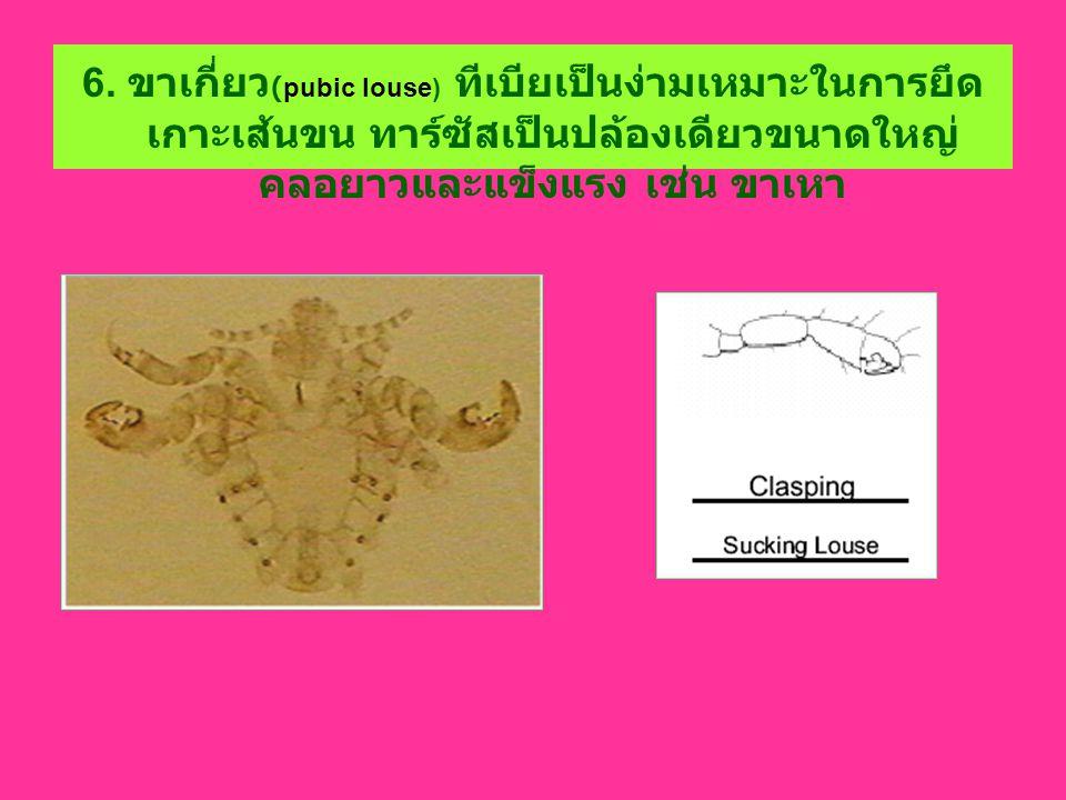 6. ขาเกี่ยว (pubic louse) ทีเบียเป็นง่ามเหมาะในการยึด เกาะเส้นขน ทาร์ซัสเป็นปล้องเดียวขนาดใหญ่ คลอยาวและแข็งแรง เช่น ขาเหา