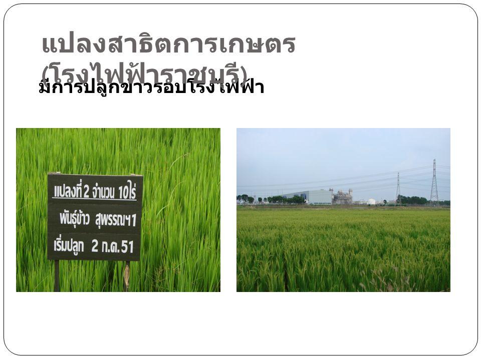 มีการปลูกข้าวรอบโรงไฟฟ้า แปลงสาธิตการเกษตร ( โรงไฟฟ้าราชบุรี )
