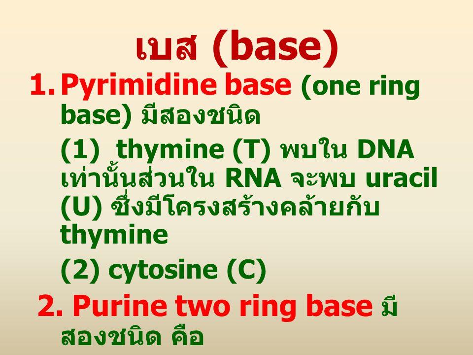 เบส (base) 1.Pyrimidine base (one ring base) มีสองชนิด (1) thymine (T) พบใน DNA เท่านั้นส่วนใน RNA จะพบ uracil (U) ซึ่งมีโครงสร้างคล้ายกับ thymine (2)