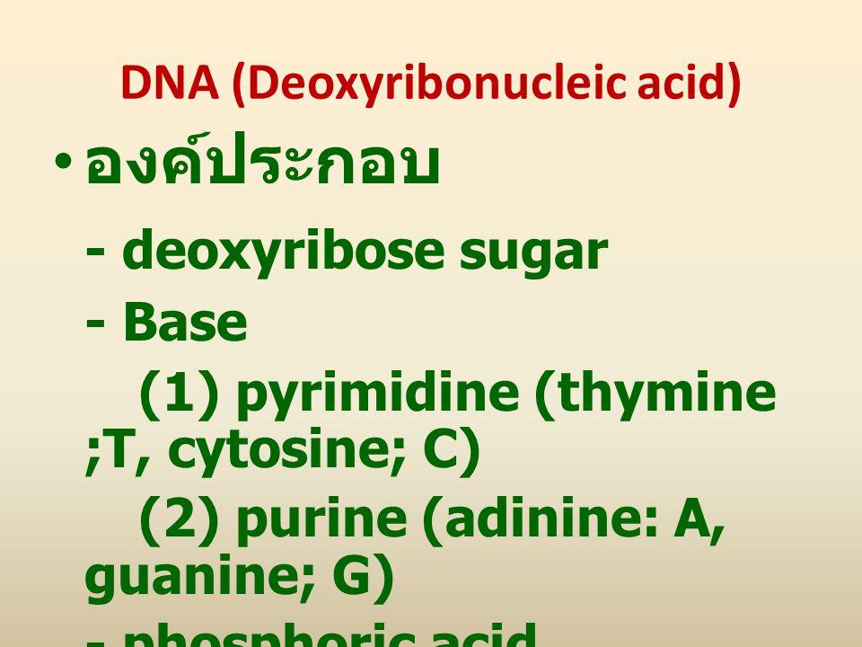 DNA (Deoxyribonucleic acid) องค์ประกอบ - deoxyribose sugar - Base (1) pyrimidine (thymine ;T, cytosine; C) (2) purine (adinine: A, guanine; G) - phosp