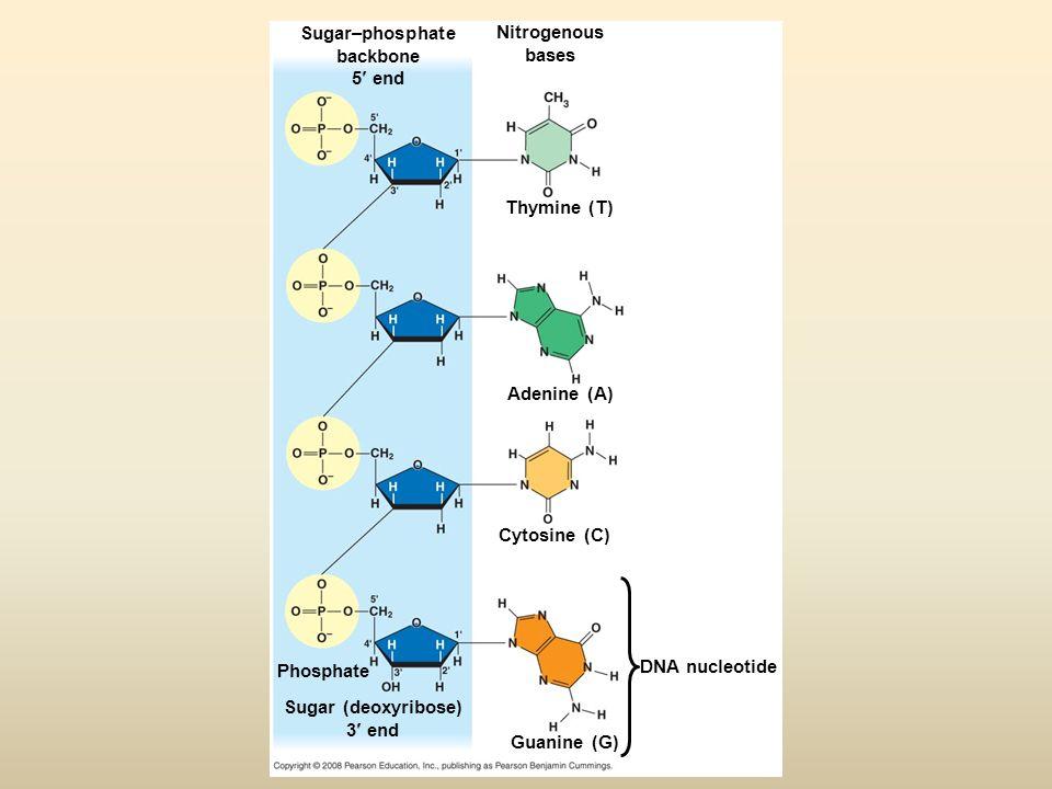 Sugar–phosphate backbone 5 end Nitrogenous bases Thymine (T) Adenine (A) Cytosine (C) Guanine (G) DNA nucleotide Sugar (deoxyribose) 3 end Phosphate