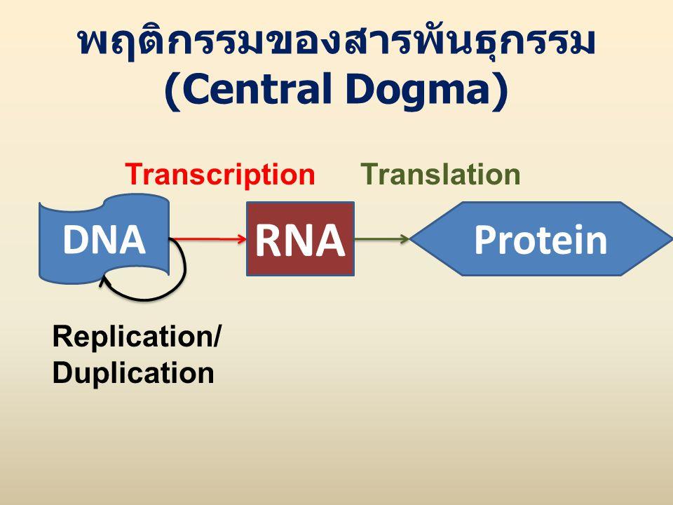 พฤติกรรมของสารพันธุกรรม (Central Dogma) DNA RNA Protein Replication/ Duplication TranscriptionTranslation