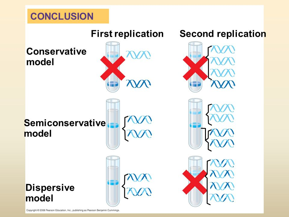 CONCLUSION First replicationSecond replication Conservative model Semiconservative model Dispersive model