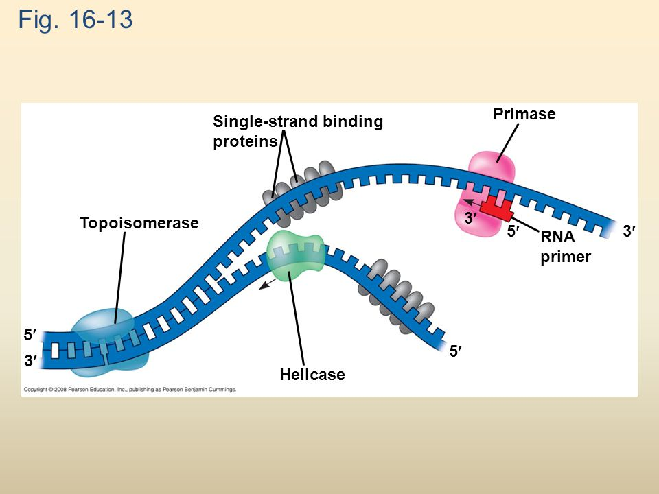 Fig. 16-13 Topoisomerase Helicase Primase Single-strand binding proteins RNA primer 5 5 53 3 3