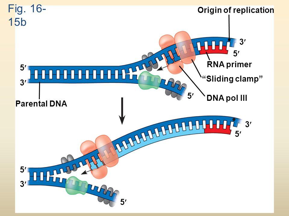 """Fig. 16- 15b Origin of replication RNA primer """"Sliding clamp"""" DNA pol III Parental DNA 3 5 5 5 5 5 5 3 3 3"""
