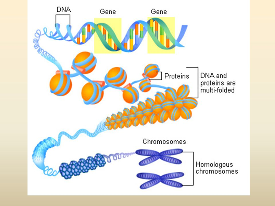 พฤติกรรมของสารพันธุกรรม (Central Dogma) DNA RNA Protein Replication/ Duplication TranscriptionTranslation