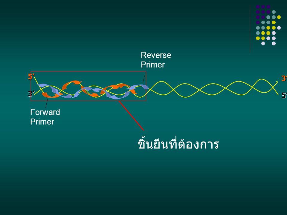 5'3' 3'5' Reverse Primer Forward Primer ชิ้นยีนที่ต้องการ