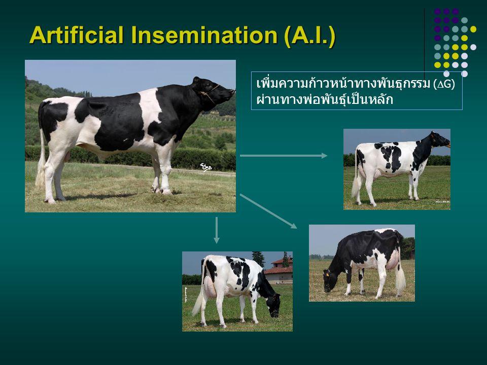 Artificial Insemination (A.I.) เพื่มความก้าวหน้าทางพันธุกรรม (  G) ผ่านทางพ่อพันธุ์เป็นหลัก