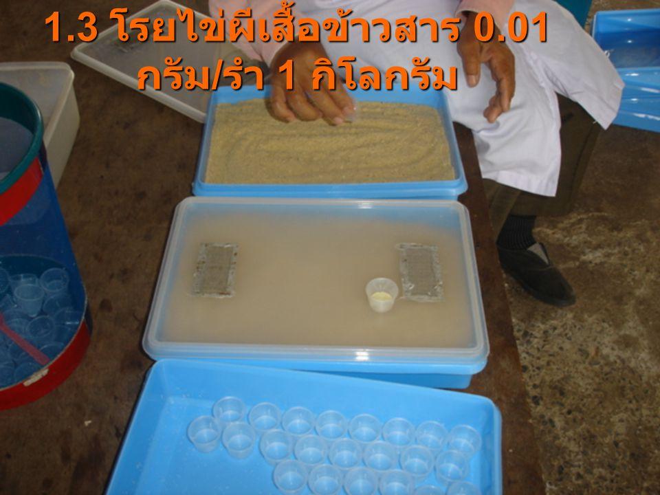 1.3 โรยไข่ผีเสื้อข้าวสาร 0.01 กรัม / รำ 1 กิโลกรัม
