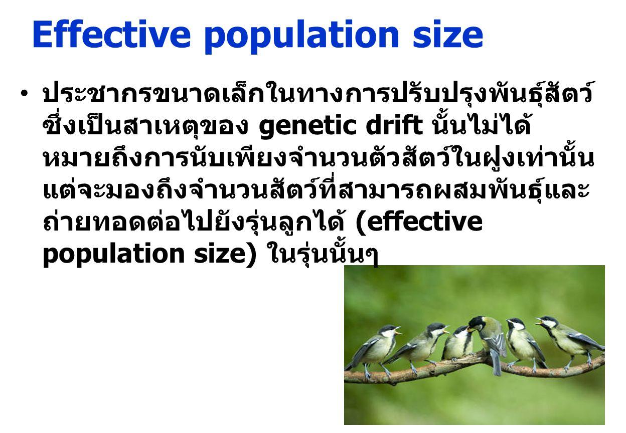 Effective population size ประชากรขนาดเล็กในทางการปรับปรุงพันธุ์สัตว์ ซึ่งเป็นสาเหตุของ genetic drift นั้นไม่ได้ หมายถึงการนับเพียงจำนวนตัวสัตว์ในฝูงเท่านั้น แต่จะมองถึงจำนวนสัตว์ที่สามารถผสมพันธุ์และ ถ่ายทอดต่อไปยังรุ่นลูกได้ (effective population size) ในรุ่นนั้นๆ