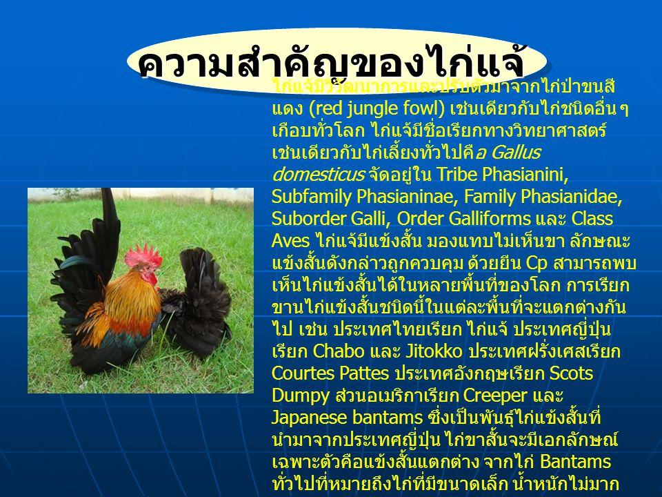 ความสำคัญของไก่แจ้ ไก่แจ้ เป็นไก่พื้นเมืองชนิดหนึ่ง (Domestic Fowl) จัดอยู่ในประเภท สัตว์สวยงาม อยู่คู่สังคมไทยมาเป็น เวลานาน วัตถุประสงค์ของการเลี้ยง เพื่อความเพลิดเพลิน ความสวยงาม และความสุขใจของผู้เลี้ยง เดิมเป็นไก่ ป่าที่มีความปราดเปรียว ขี้ระแวง เข้า ใกล้ไม่ได้ แต่เพราะมีขนสวยงาม ลักษณะที่น่ารัก และการเลี้ยงไม่ ยุ่งยาก ทำให้เกิดการพัฒนาสายพันธุ์ ให้สามารถอยู่ร่วมกับผู้เลี้ยงได้ จับ ต้องได้ และอุ้มได้ โดยมีการพัฒนา ต่อเนื่องมาไม่ต่ำกว่า 30 ปี จนสามารถ พัฒนาไก่แจ้ไทยได้ถึง 12 สี โดยมี ความสวยงามตามมาตรฐานสากล