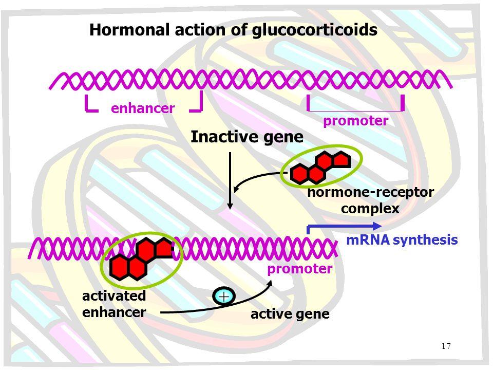 Hormonal action of glucocorticoids enhancer promoter Inactive gene hormone-receptor complex mRNA synthesis promoter activated enhancer + active gene 1