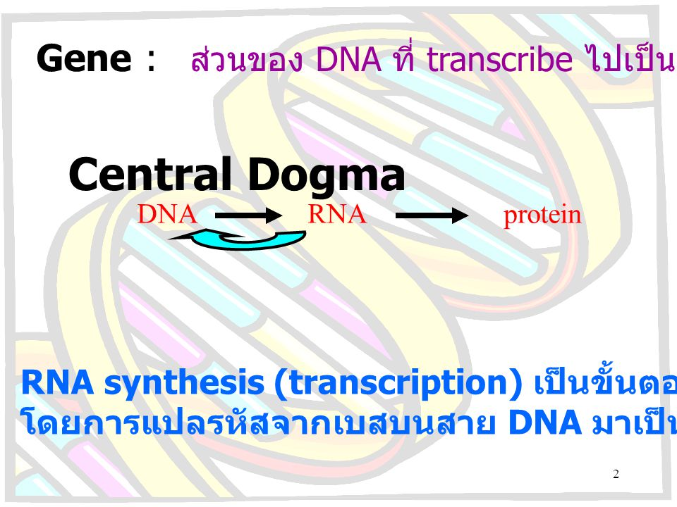 Gene : ส่วนของ DNA ที่ transcribe ไปเป็น RNA หรือ protein Central Dogma DNA RNA protein RNA synthesis (transcription) เป็นขั้นตอนแรกในการแสดงออกของยีน
