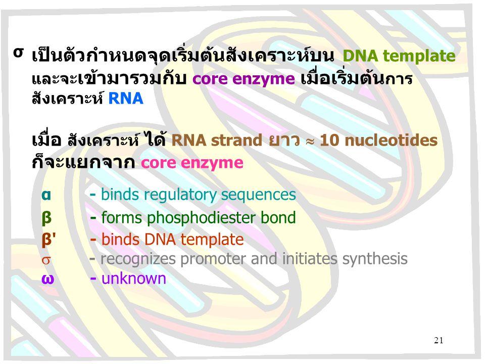 เป็นตัวกำหนดจุดเริ่มต้นสังเคราะห์บน DNA template และจะ เข้ามารวมกับ core enzyme เมื่อเริ่มต้น การ สังเคราะห์ RNA เมื่อ สังเคราะห์ ได้ RNA strand ยาว 