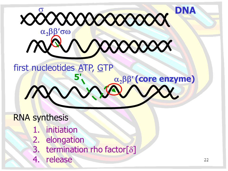 DNA  2  first nucleotides ATP, GTP 5'  2  (core enzyme) RNA synthesis 1.initiation 2.elongation 3.termination rho factor[  ] 4.release 22