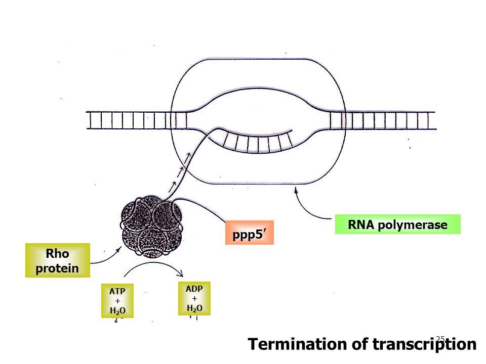 Rho protein ATP + H 2 O ADP + H 2 O ppp5 RNA polymerase Termination of transcription 25